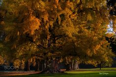 Big tree in autumn by tenchinage #nature #mothernature #travel #traveling #vacation #visiting #trip #holiday #tourism #tourist #photooftheday #amazing #picoftheday