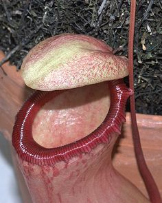 Pitcher Plant. I always wanted one of these.
