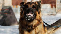 De beste vriend van de mens staat ook op de lijst. Dat komt echter niet doordat hij zijn eigenaar nou zo vaak doodbijt, maar omdat hij het rabiësvirus (hondsdolheid) kan verspreiden. Mensen kunnen besmet raken als ze in contact komen met het speeksel van een besmette hond, bijvoorbeeld via een beet. 99% van de circa 35.000 sterfgevallen veroorzaakt door rabiës is op het conto van honden te schrijven, zo schat de WHO in