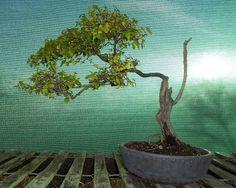 Chinese Sweet Plum Chinese Bird Plum Sageretia Bonsai Beginnings
