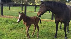 Proud mum Black Caviar and her new foal (Photo: @moodyracingpgm Twitter). Champion mare Black Caviar has given birth to her second foal, a colt by Sebring.