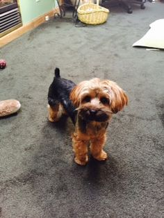 Lost Dog - Yorkshire Terrier in QUEENSBURY, NY      Pet Name:Buddy (ID# 94771) Gender:Male Breed:Yorkshire Terrier Color:Black Color 2:Tan/Cream Pet Size:X-Small (2-9lbs) Pet Age:1 year 4 months Date Lost:05/31/2015 Zip Code:12804 (QUEENSBURY, NY) See All Lost Dogs In QUEENSBURY, NY