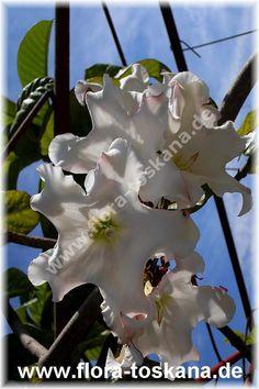 Beaumontia grandiflora - Lilienwein, Nepal-Trompetenblume. kletterpflanze