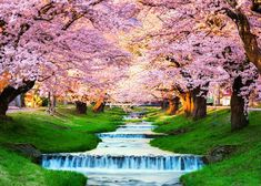 Japan 2019 Cherry Blossom Forecast: When and Where to See Sakura in Tokyo, Kyoto and Beyond! - LIVE JAPAN (Japanese travel, sightseeing and experience guide) Japan Cherry Blossom Festival, Cherry Blossom Party, Cherry Blossom Season, Sakura Cherry Blossom, Cherry Blossoms, Fukushima, Japanese Cherry Tree, Japanese Travel, Japan Travel Guide