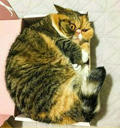 Box :: photo :: cat :: face / funny pictures & best jokes: comics, images, video, humor, gif animation - i lol'd Funny Cats And Dogs, Cats And Kittens, Cute Cats, Funny Animals, Cute Animals, Kitty Cats, Funny Cat Memes, Funny Cat Videos, Funny Cat Pictures