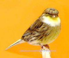 gloster canary - Google zoeken