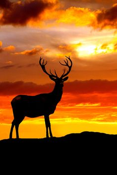 "♂ Silhouette of A Stag at Sunset: ""King of The Hill."" (Wildlife Photography. By: Dudley Thorburn.)"