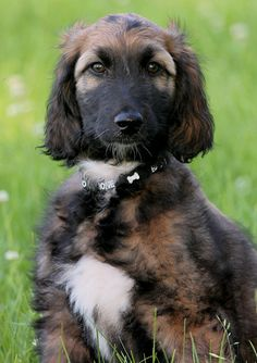 Experts Advice on Dog Care - Trasedogs Afghan Hound Puppy, Hound Dog, Hound Puppies, Hound Breeds, Dog Breeds, A Dogs Purpose, Most Beautiful Dogs, Tibetan Terrier, Dog Id