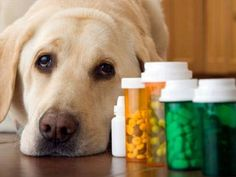 Is It Safe to Use Essential Oils Around My Pets? Even pets can benefit from using essential oils www. - essential oils for heartworm prevention. Caring For Dog After Heartworm Treatment Meds For Dogs, Pet Meds, Medication For Dogs, Bearded Collie, Aspirin For Dogs, Animal Medicine, Pet Health, Health Tips, Dog Care