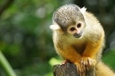Adorable squirrel monkey by Yucarina e - Photo 215926377 / 500px