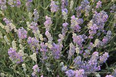 Lavender Farm in Mona, Utah