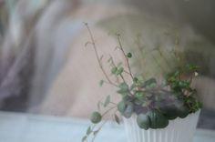 peperomia angulata.