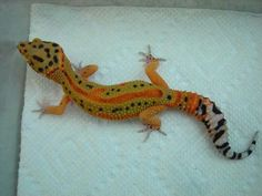 Clown Project, Sasobek Reptiles --State College, Pennsylvania