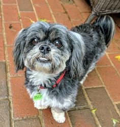 Coco is an adoptable Lhasa Apso searching for a forever family near Potomac, MD. Use Petfinder to find adoptable pets in your area.