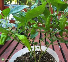 @garden_plant_lover Cubenelle peppers. This is an overwintered pepper plant. In Spring it had a serious aphid problem and was not doing well. I completely neglected it because I was expecting it to die. After I returned from Turkmenistan aphids were gone and the plant was healthy. After I fertilized it the plant set a lot of fruits. #peppers #fall #plantsomething #urbanorganicgardener #seedsnow #growsomethinggreen #gardenhogs #thehappygardeninglife #urbangardenersrepublic #burpeehg…