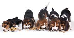 Puppy beagles!