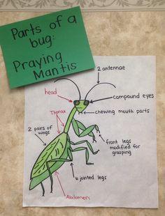Parts of a praying mantis chart.