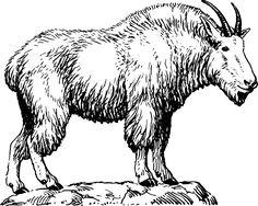 Kozel, Kozí, Zvíře, Biologie, Savec