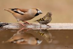 Coccothraustes coccothraustes + Carduelis spinus