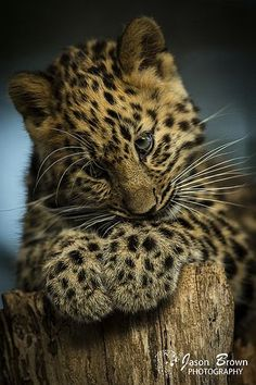 Awww.. Very cute! Leopard cub Kanika | Jason Brown