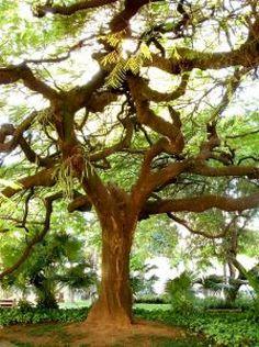 Grandes árboles |