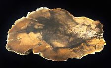 STINKING WATER GOLDEN OAK, Oregon polished petrified wood