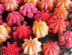 Cactus Treats