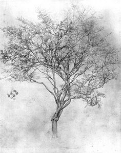 Lord Frederic Leighton, Drawing of a Lemon Tree, silverpoint on paper.