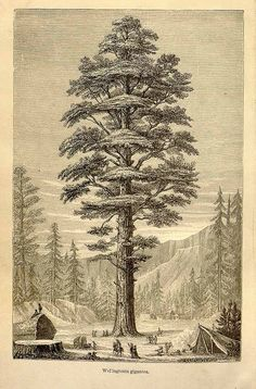 Sequoiadendron giganteum (Lindl.) J.Buchholz [as Wellingtonia gigantea Lindl.] big tree, wellingtonia Figuier, L., The vegetable world [Histoire des plantes], (1867) [A, Faguet]