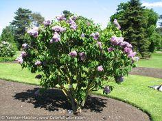 Syringa Vulgaris, Rocky Hill, Planting Flowers, Plants, Plant, Lilacs, Lilac, Planets