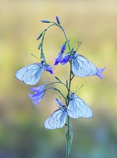 Blue butterfly purple flowers