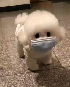Cute White Puppies, Cute Baby Puppies, Super Cute Puppies, Baby Animals Super Cute, Cute Little Animals, Toy Poodle Puppies, Schnauzer Puppies, Teacup Puppies, Goldendoodle