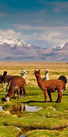 Lamas dans le Parc National de Sajama sur le Plateau Bolivien #Bolivie