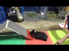 """Training Nemo in Rabbit Agility. Great video, shows how quick rabbit can learn! And also, rabbits can learn to """"read"""" humans, follow their voice and handsigns!"""