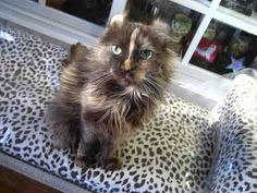 - American Curl - Ideas of American Curl - American Curlyikes! The post American Curlyikes! appeared first on Cat Gig. American Wirehair, American Bobtail, American Curl Kittens, Cute Cats, Funny Cats, American Shorthair, Beautiful Cats, Cat Lovers, Curls