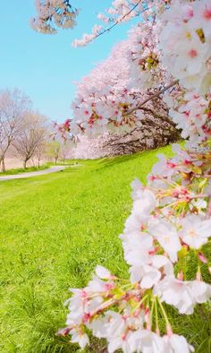 beautiful landscapes and flowers Cherry Blossom Wallpaper, Flower Wallpaper, Beautiful Nature Wallpaper, Beautiful Landscapes, Spring Wallpaper, Peach Trees, Blossom Trees, Cherry Blossoms, Garden Trees