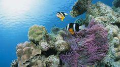 Beautiful Coral Reefs | Beautiful, coral, ocean, reef, sea, water