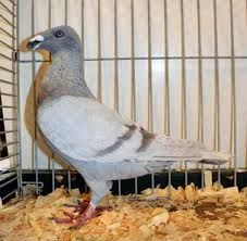 """Képtalálat a következőre: """"show antwerp pigeon"""""""