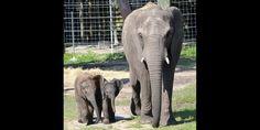 (From left) Mpumi, Mavi & Matjeka - © Tampa's Lowry Park Zoo