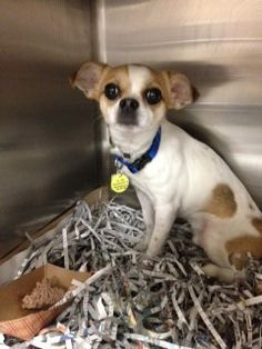 Purcy is a 1-3 years old Pug/Chihuahua mix. If you're looking for an energetic pup who will keep you busy all day long, look no further for your best friend!  will keep you busy all day long. Meet him at @North Shore Animal League America
