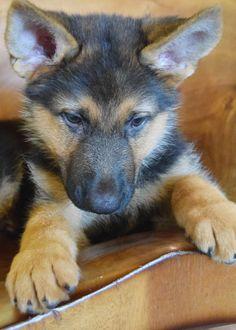 Luke Milani. Denise Milani's german shepherd puppy. #DeniseMilani #LukeMilani…