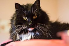 Meet Marcus, a Petfinder adoptable Domestic Long Hair-black and white Cat | Mission, BC | Marcus is a 7 year old cat who was seized by the SPCA from a hoarding situation. He is looking for...
