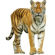 This large jungle cat comes to you in cutout PNG format. Like the title says, it's a tiger. Animal Pictures For Kids, Wild Animals Pictures, Tiger Images, Lion Images, Zoo Animals, Animals And Pets, Lion Tigre, Animal Cutouts, Jungle Cat