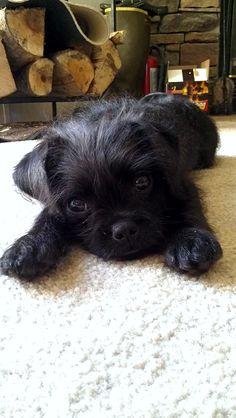 Cute pugapoo (pug poodle mix)