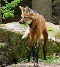 Beautiful Creatures, Animals Beautiful, Cute Animals, Coyotes, Canis Lupus, Wolf Predator, Maned Wolf, Wolf Photos, Animal Symbolism
