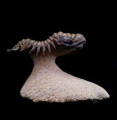 Trilbote Crotalocephalina Gibba