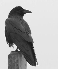 The Raven: they mate for life, both parents feed their chicks, and they are unselfish: calling other ravens whenever a carcass is found and share their food with other hungry Ravens. many consider them the most intelligent of all birds. Raven And Wolf, Raven Bird, Quoth The Raven, Pet Raven, Les Runes, Dark Wings, The Ancient Magus Bride, Jackdaw, Crows Ravens