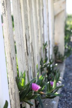 #flower #fence #photography