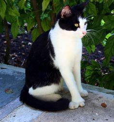 [The Scratchpad] Hemingway Cats: Why Some Kitties Come with Extra Toes Cats Bus, Cats And Kittens, Cats Meowing, I Love Cats, Cool Cats, Hemingway Cats, Hemingway House, Ernest Hemingway, Cat Habitat