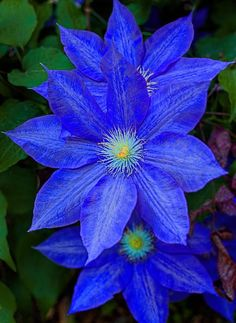 Clematis have become a very popular perennial vine. They are reasonably Clematis Clematis have become a very popular perennial vine. They are reasonably. -Clematis Clematis have become a very popular perennial vine. They are reasonably. Exotic Flowers, Amazing Flowers, My Flower, Pretty Flowers, Flower Power, Colorful Flowers, White Flowers, Cactus Flower, Tropical Flowers
